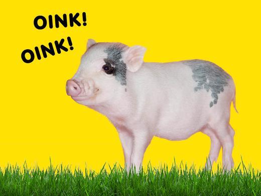 Blog Image Kendall Schmidt's Pet Pig Yuma 1